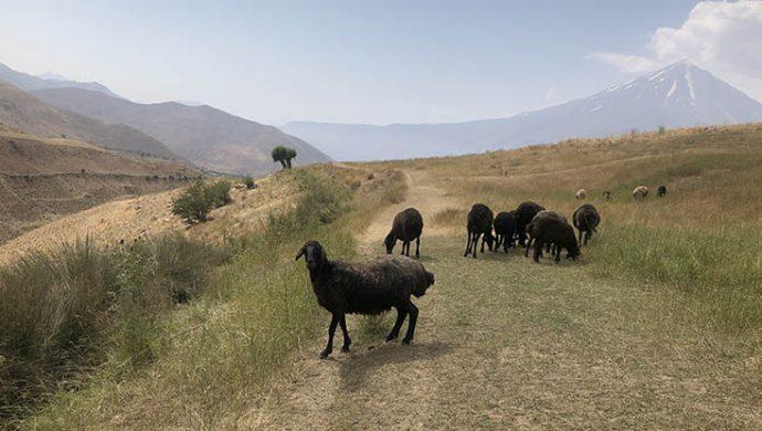 گوسفند - صحرا - دماوند - دشت